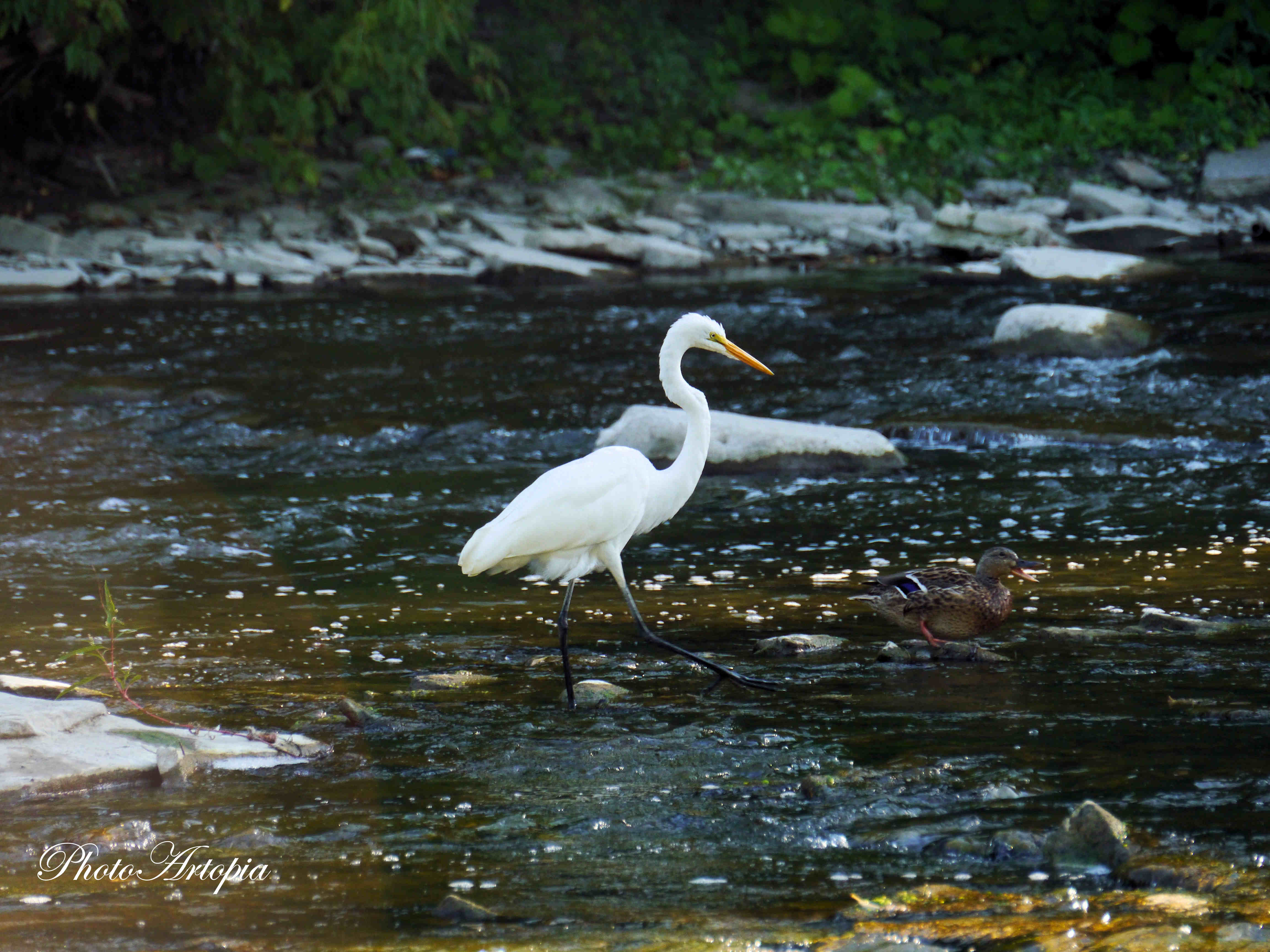 Great-Egret297
